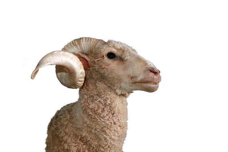Taxidermy Ram/Sheep Bust