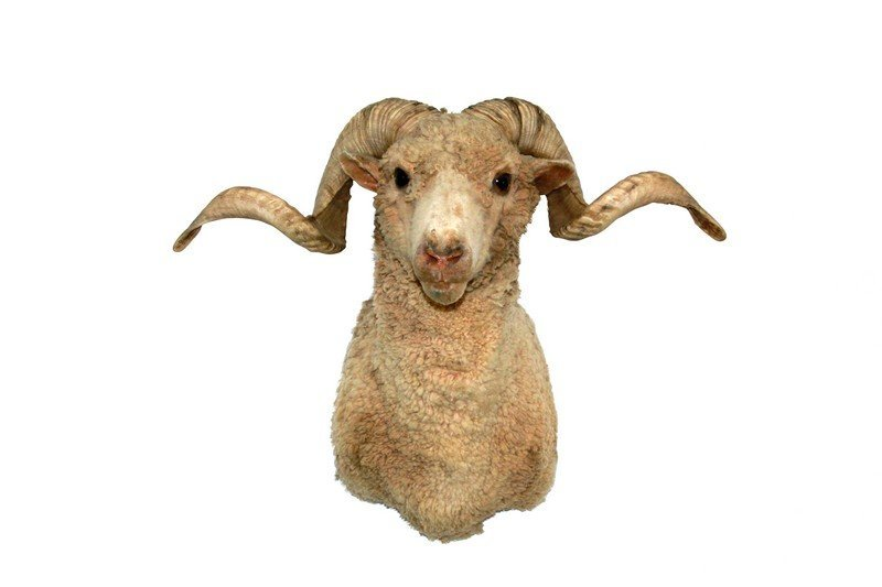 Taxidermy Ram/Sheep Bust - 2
