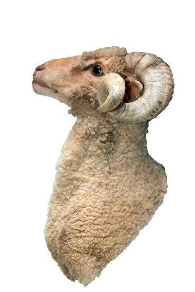 Taxidermy Ram/Sheep Bust - 3