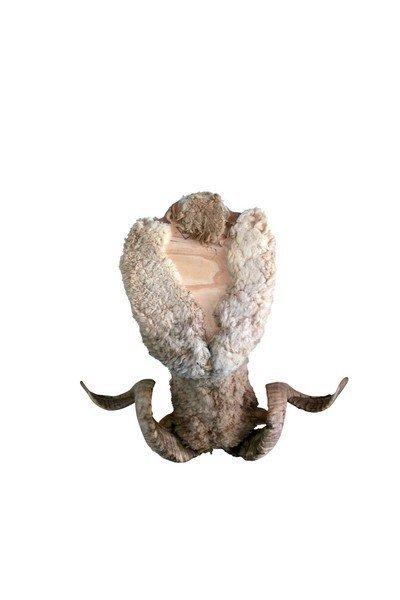 Taxidermy Ram/Sheep Bust - 4