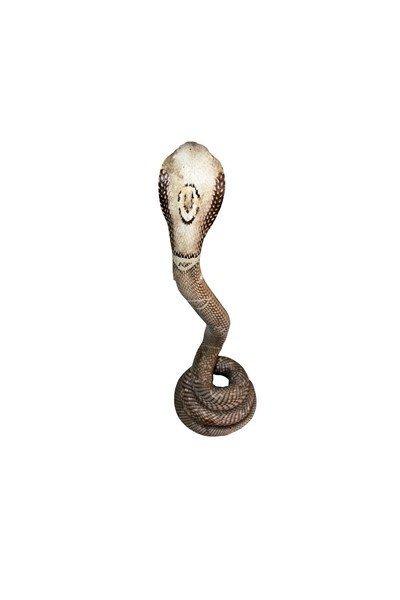 Taxidermy Standing Cobra - 3