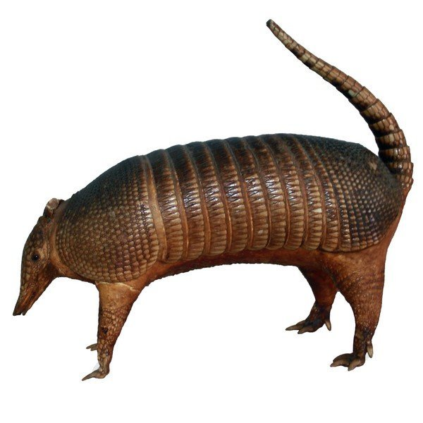 Taxidermy Armadillo