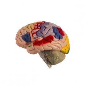 Half A Brain - Anatomical Plastic Brain Model