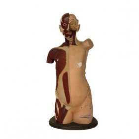 Plaster Male Anatomical Model Early 20th Century