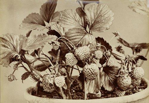 4506: Alinari, Fratelli: Strawberries