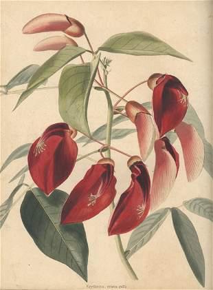 Loddiges, C.: The botanical cabinet