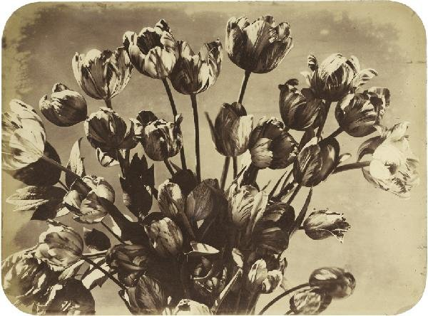 4020: Braun, Adolphe: Tulips