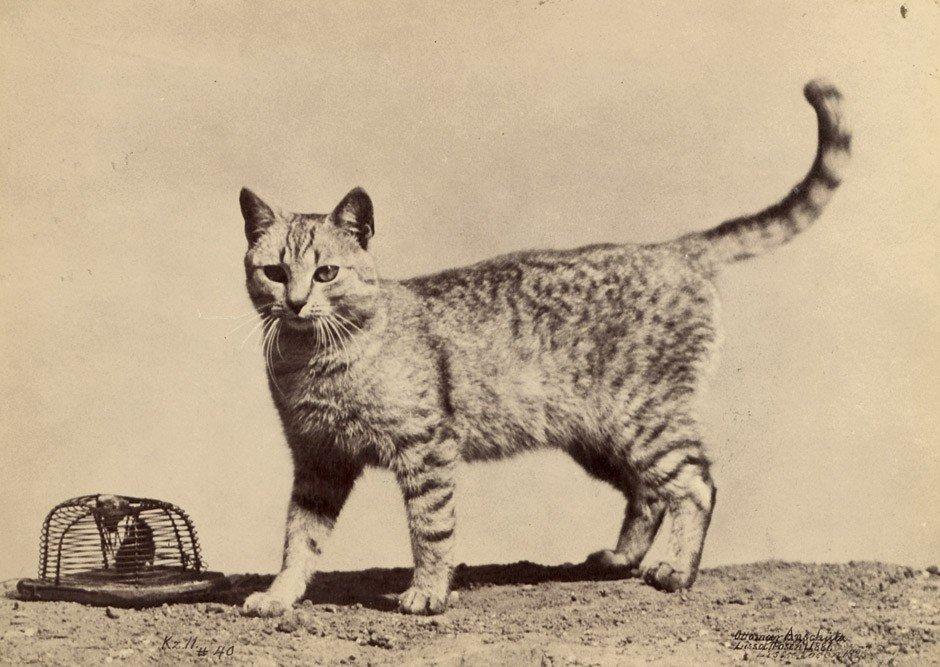 4006: Anschütz, Ottomar: Cat with mousetrap