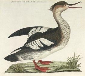 Mergus Serrator (Mittels�ger): Vogel