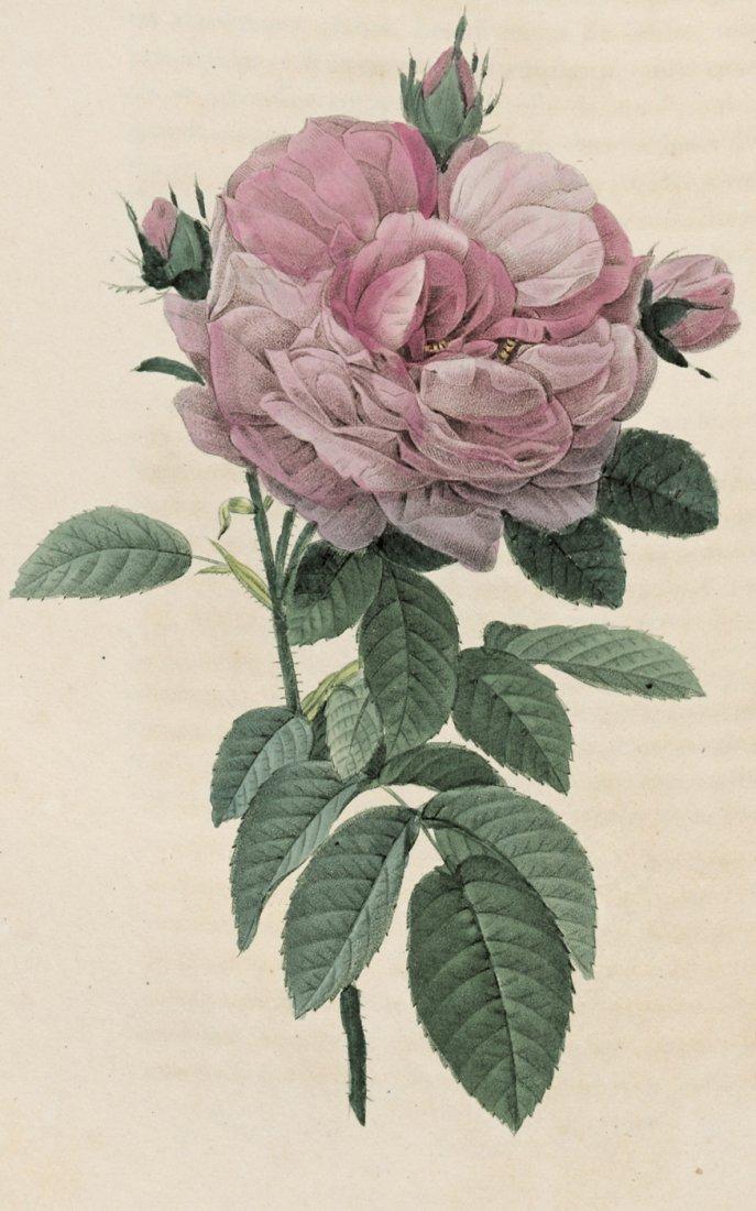 1066: Redouté, Pierre Joseph : Les Roses, 1824-1826