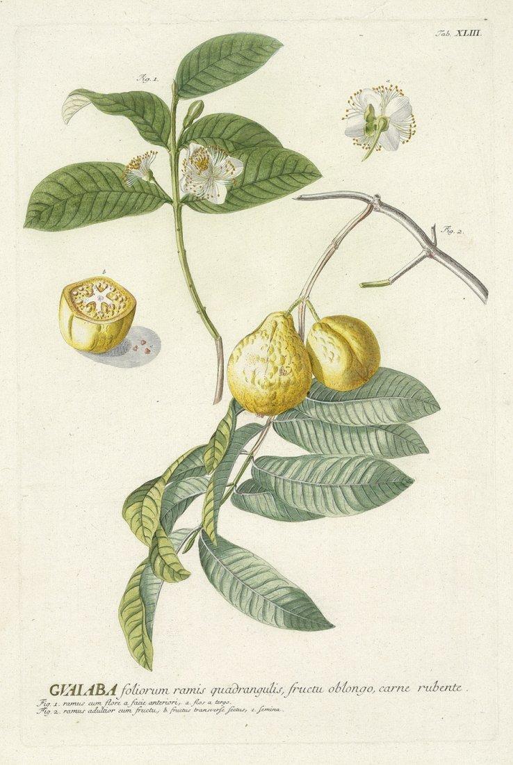 188: Verschiedene Pflanzen: darunter Abutilon, Byttneri
