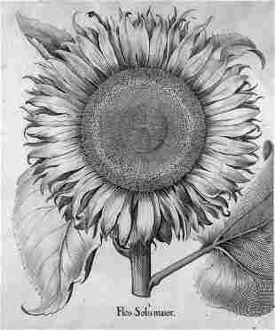 Sonnenblume (Besler) : Flos Solis maior