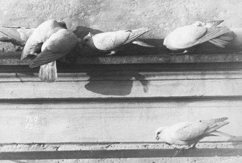 4007: Anschütz, Ottomar: Doves