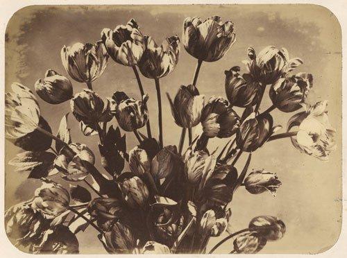 4019: Braun, Adolphe: Tulips
