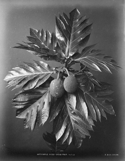 4082: Scowen, Charles T.: Plant details