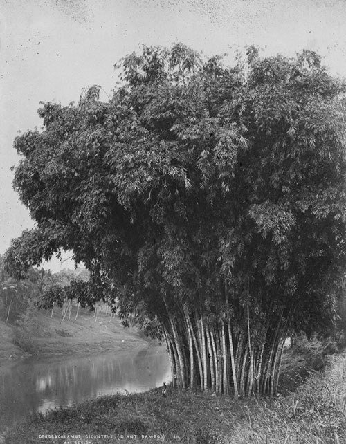 4083: Scowen, Charles T.: Trees in Ceylon