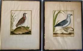 18th C. Hand-colored Bird Engravings Quail & Petrel