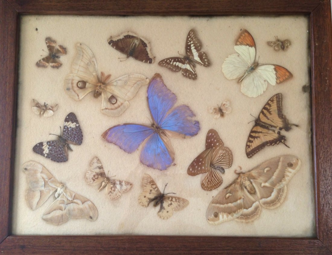 Collection Of Butterfly & Moth Specimens