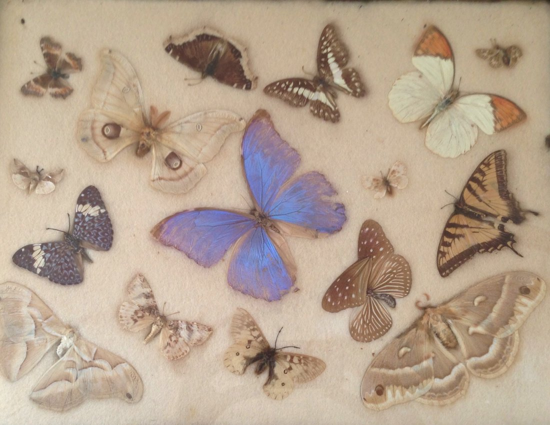 Collection Of Butterfly & Moth Specimens - 2