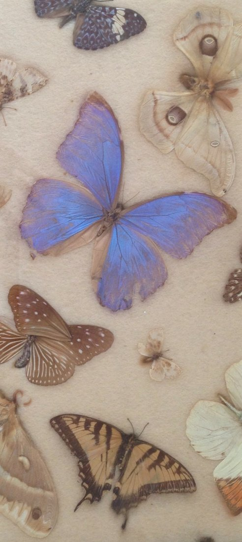 Collection Of Butterfly & Moth Specimens - 3