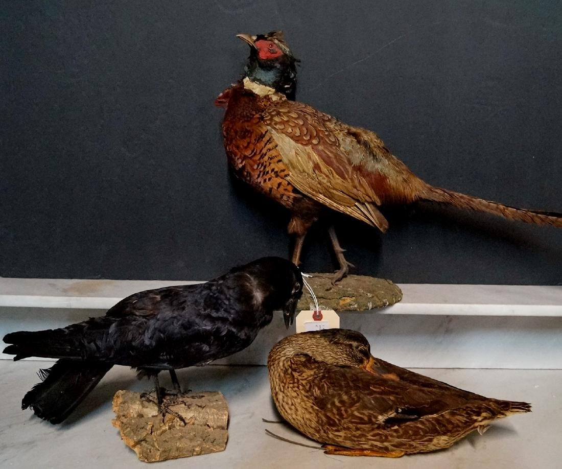3 TAXIDERMY BIRDS - 10