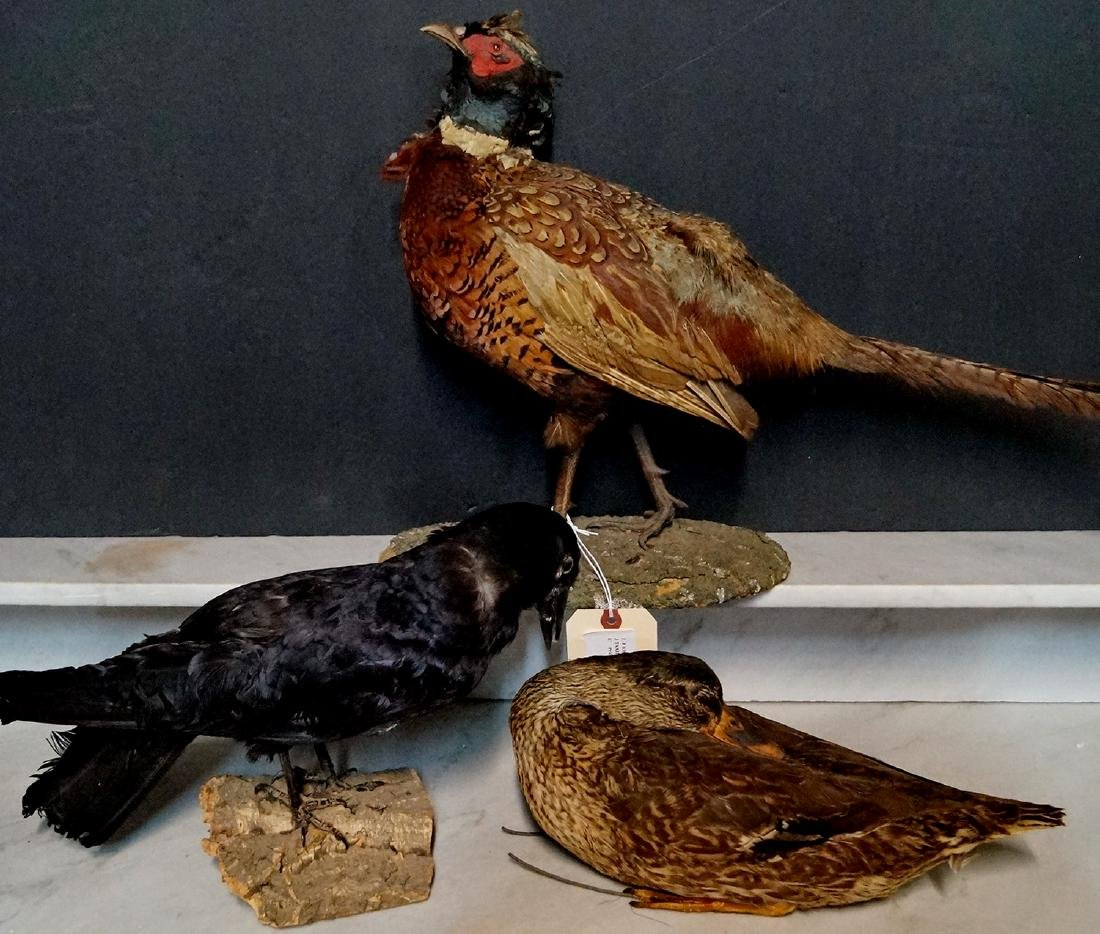 3 TAXIDERMY BIRDS