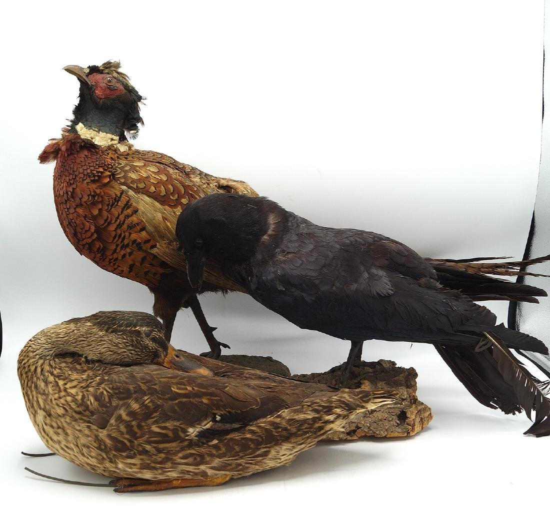 3 TAXIDERMY BIRDS - 2