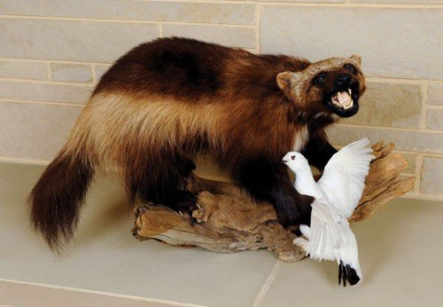 6: Wolverine with winter Ptarmigan mount. The wolver
