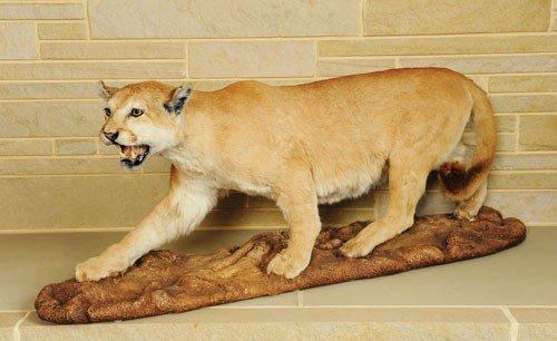 14: Life size cougar mount.