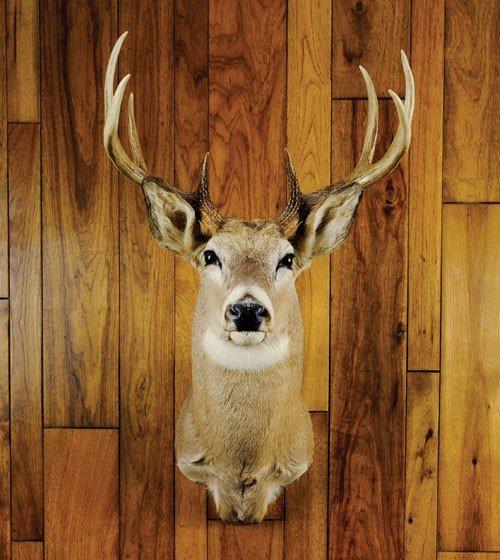 17: Eight point Montana whitetail mount.