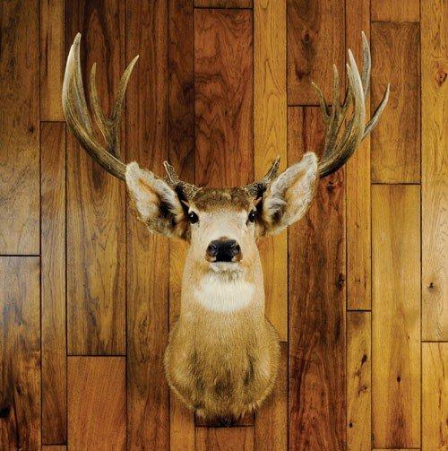 21: Mule deer mount taken on the Jicarilla Apache res