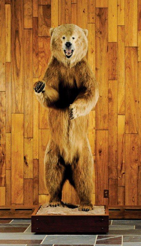 36: Full life sized Alaskan brown bear mount taken on