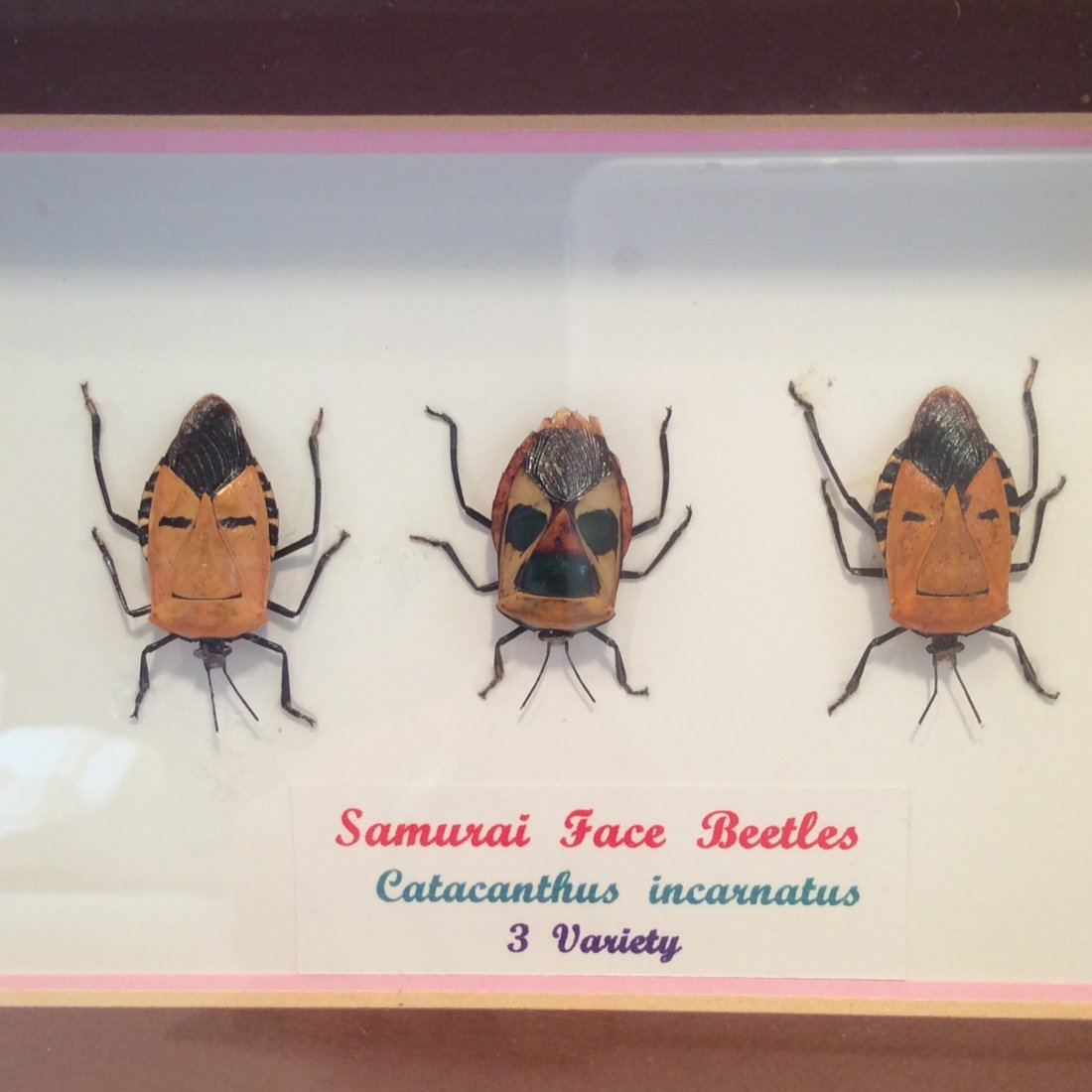 Japanese Samurai Fase Beetles very rare odditties - 2