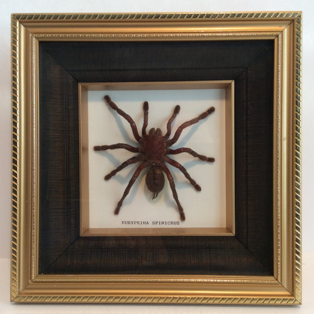 Giant Framed.  Red Hair SPIDER  ( EURYPEIMA SPINICRUS )