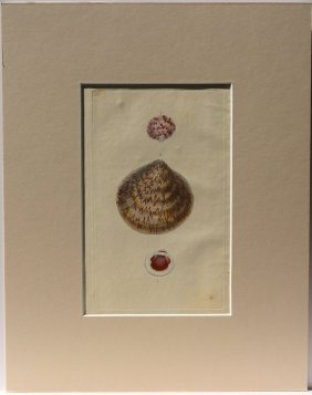 Orbicular Ark Shell, 1823