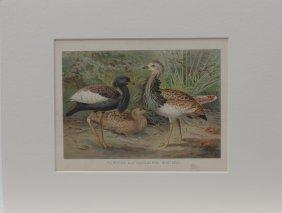 Florican & Macqueen's Bustard, 1800