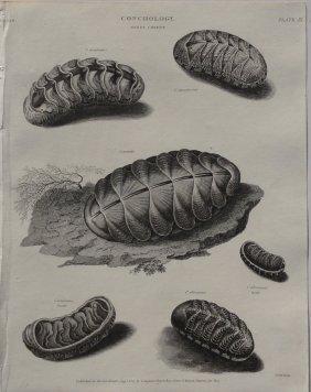 Chitons, 1802