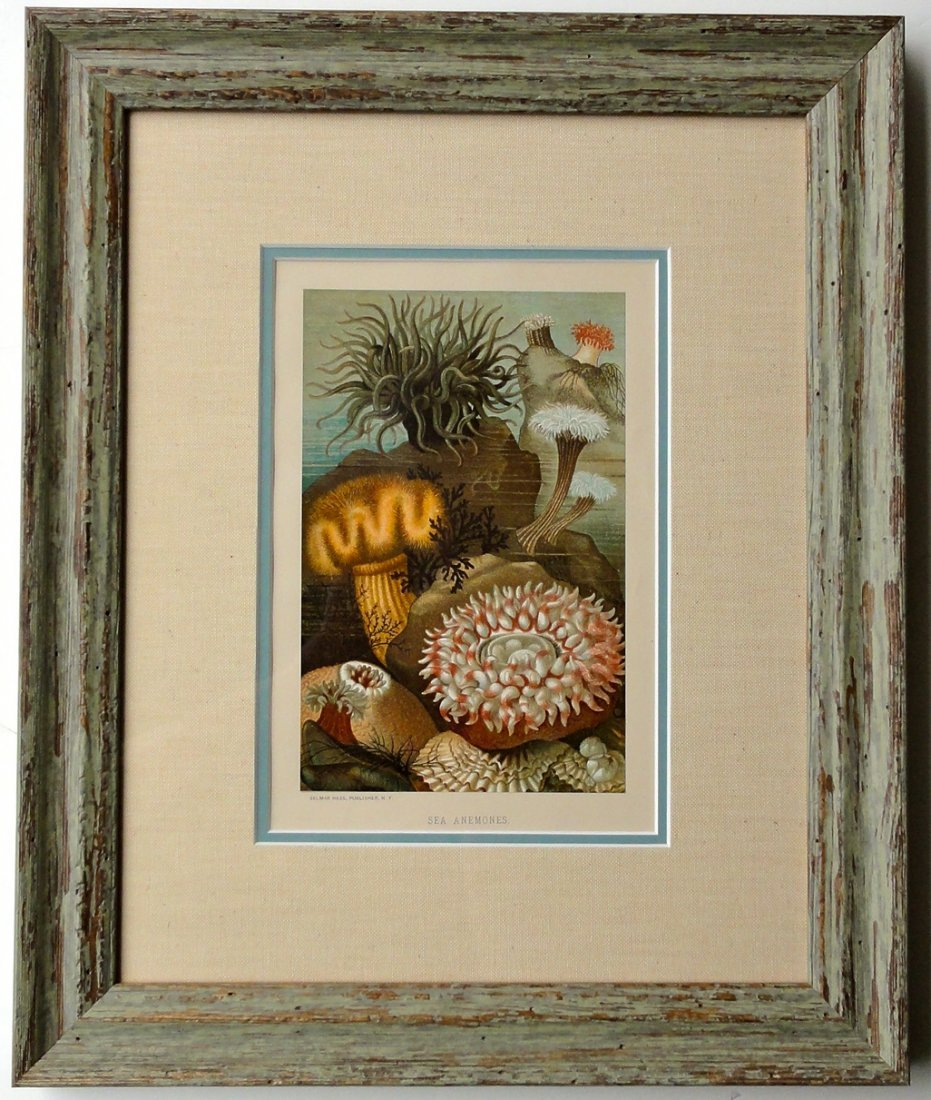 Sea Anemones, 1885 (Custom Framed)