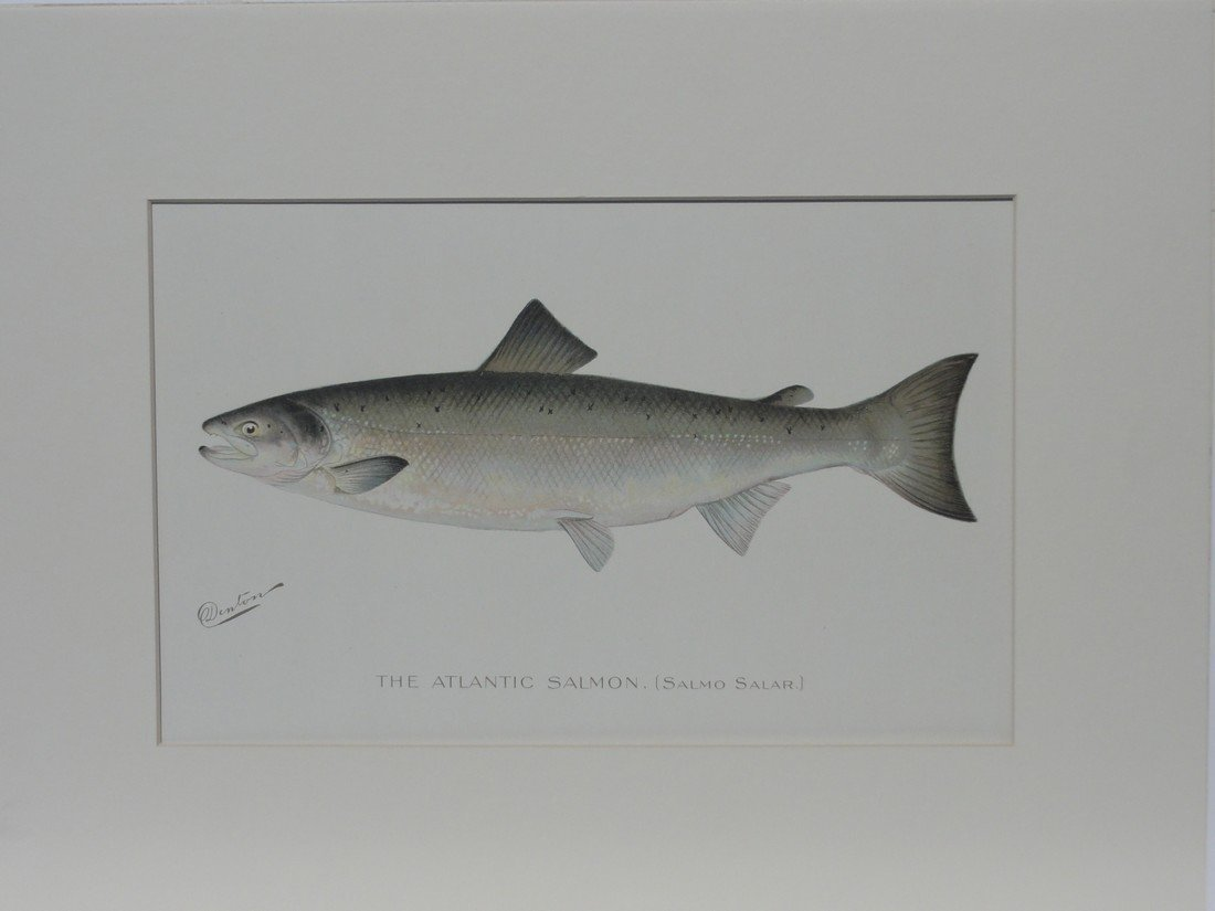 Atlantic Salmon, 1880