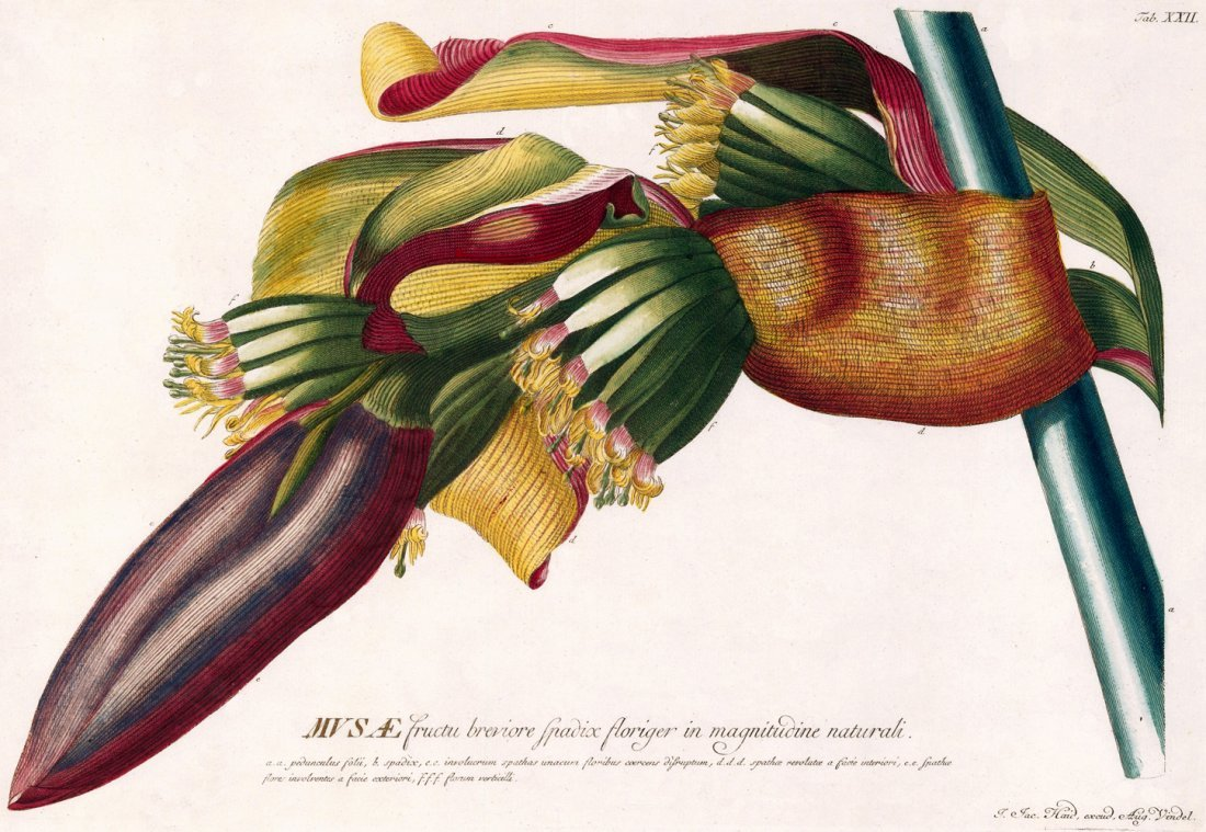 Banana engraving by Christoph Jakob Trew