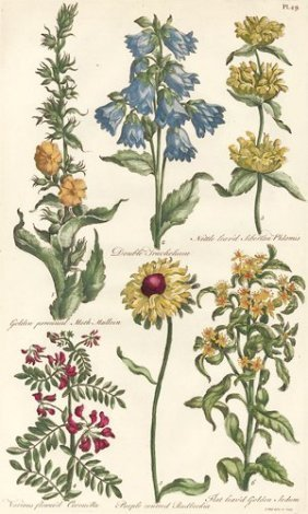 Botanical Engraving By John Hill