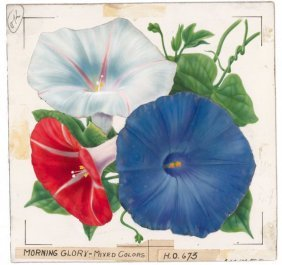 Morning Glory Watercolor