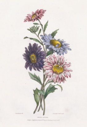 Hand-colored Aster Lithograph