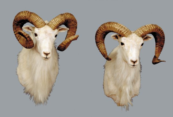 1152: Pair taxidermy specimen Dall sheep