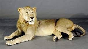 1156: African lion taxidermy specimen