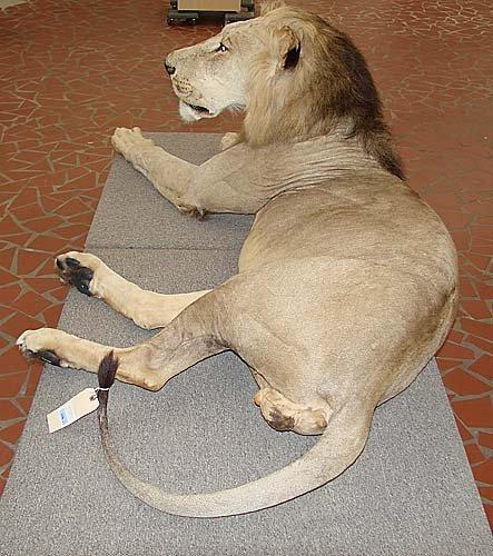 1156: African lion taxidermy specimen - 2