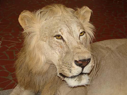 1156: African lion taxidermy specimen - 3