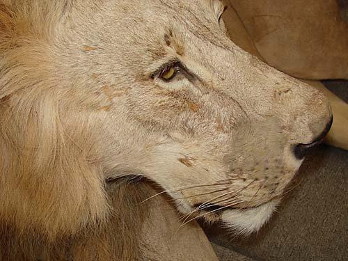 1156: African lion taxidermy specimen - 5