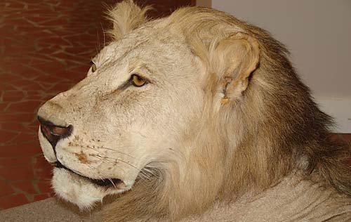 1156: African lion taxidermy specimen - 6