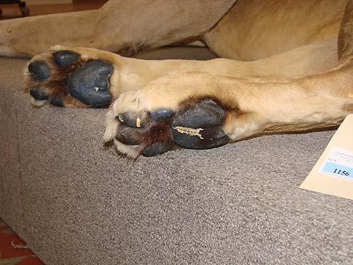 1156: African lion taxidermy specimen - 8